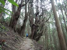 Large cedars